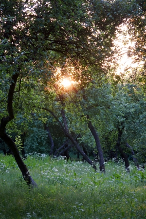 apple orchard:  apple orchard           Stock Photo