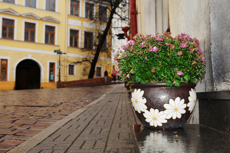 Chrysanthemum flower pot under the autumn rain, tallinn                      photo