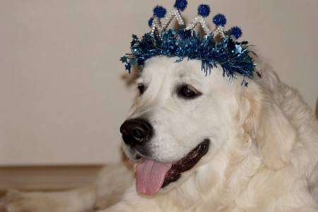 Christmas crown on a cute dog.                  photo