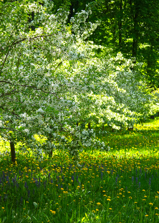 The Cherry Orchard and the time of flowering. photo