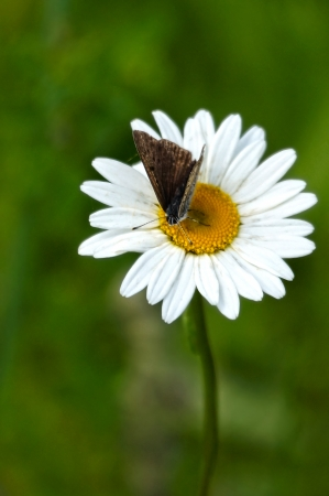 daisy flower with butterfly  photo