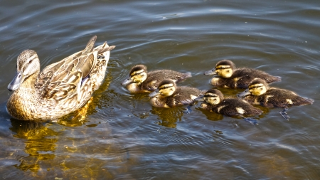 duck family photo