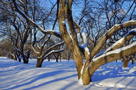 apple orchard:  apple orchard in winter