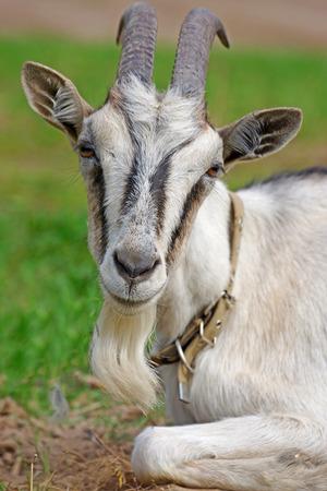 horned: horned goat