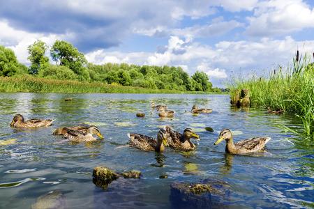 Wilde eenden op de rivier Stockfoto