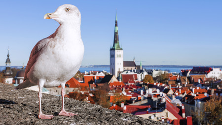 Gull on the background of the panorama of Tallinn, Estonia Stock Photo