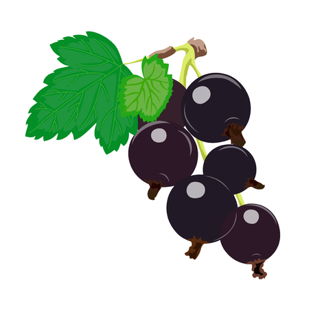 Ripe juicy berries of blackcurrant. Vector illustration.