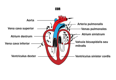 a schematic representation of the internal organs, the anatomy of the heart Illustration