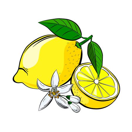 peasant: Lemon with leaves and a flower and half a lemon. vector illustration made in pencil drawing style.