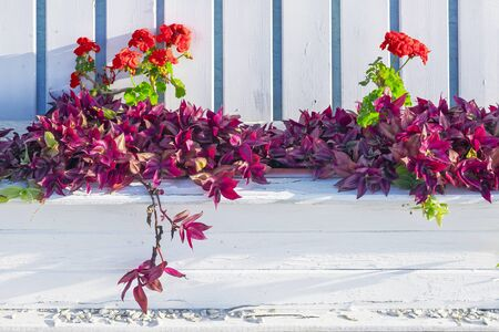 wooden flowerbed with tradescantia and red geranium Banque d'images - 136247494
