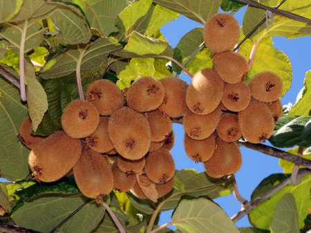 kiwi fruit: kiwi fruit on a tree branch with leaves against the sky