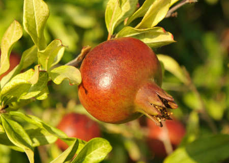 Pomegranate on a tree branch on a background of leaves photo