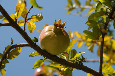 unripe pomegranate on a tree branch on a background of leaves and sky photo