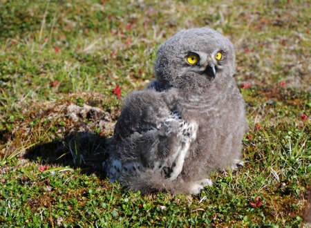 snowy owl chick  Bubo scandiacus  is sitting on the grass photo