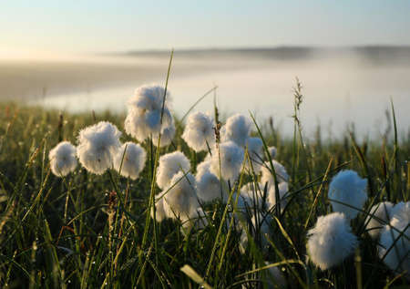 bog: Flowering cotton grass in the tundra on the background of green grass, sky and river