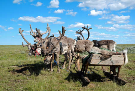 caribou: northern reindeer and sleigh on the background of the tundra