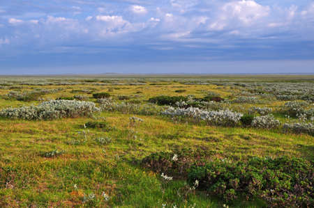 arctic landscape: Arctic tundra landscape with flowering plants on the background of the cloudy sky