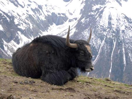 buey: yak tendido en el suelo sobre un fondo de montañas