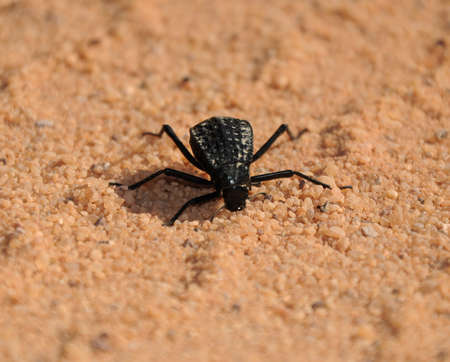 Black beetle Tenebrionidae Adesmia in the desert over sand background