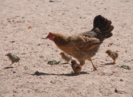a chicken and four small chickens run across the sand