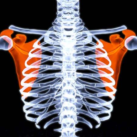 scapula: human thorax under X-rays. scapula are highlighted in red. Stock Photo