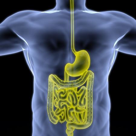 intestino: el cuerpo humano por rayos X. intestino resaltado en amarillo. Foto de archivo