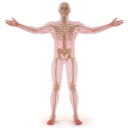 translucent human body with visible bones. isolated on white. photo
