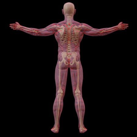 translucent human body with visible bones. isolated on black. photo