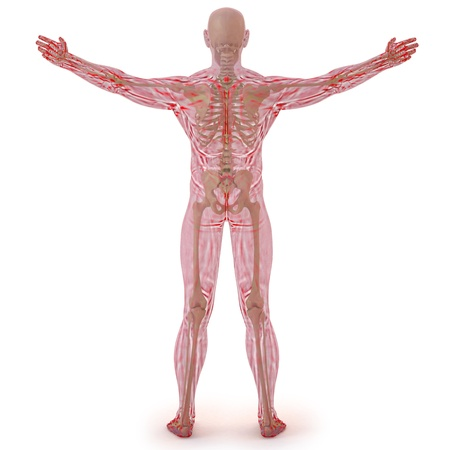 male torso: translucent human body with visible bones. isolated on white. Stock Photo