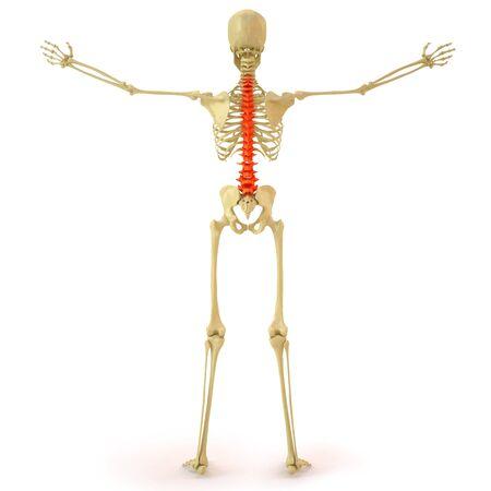 esqueleto humano: esqueleto humano con la columna roja. aislados en blanco. Foto de archivo