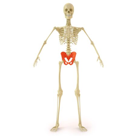 human skeleton with red pelvis bone. isolated on white. Stock Photo - 9521159