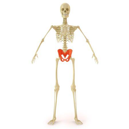 pelvis: human skeleton with red pelvis bone. isolated on white. Stock Photo