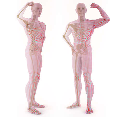 translucent human body with visible bones. isolated on white. Stock Photo - 9521169