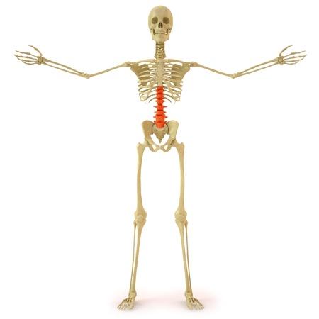fisiologia: esqueleto humano con la columna roja. aislados en blanco. Foto de archivo