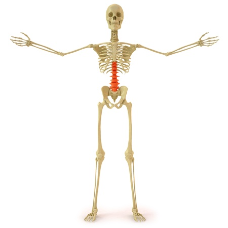 human skeleton with red spine. isolated on white.