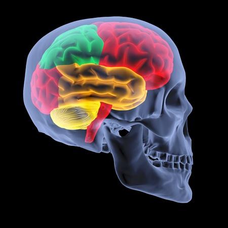 cranium: human brain by X-rays. isolated on black.