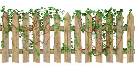 picket fence: wooden fence overgrown with ivy. isolated on white.