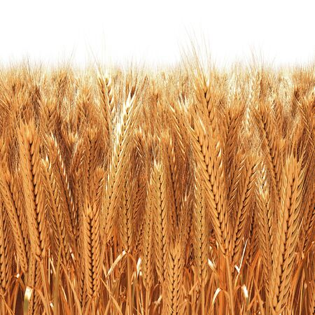 wheat illustration: Field of golden wheat ears. 3D image.