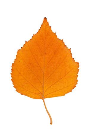 Yellow autumn fallen birch leaf on a white background photo