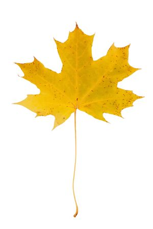 Beautiful autumn maple leaf on a long stem on a white background photo