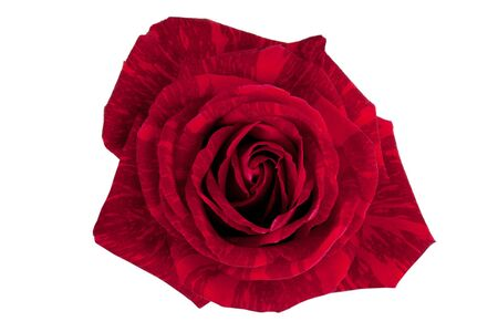 A beautiful red brindle rose on a white background photo