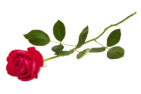 Beautiful scarlet festive fresh rose on a white background