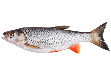 Freshly caught fish, the chub on a white background Stock Photo