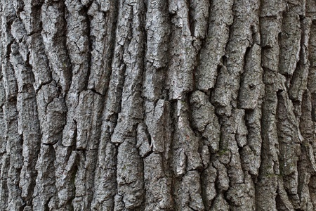 wrinkled rind: Striped bark of a tree in the wild forest