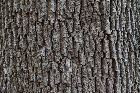 wrinkled rind: Wrinkled dark bark of the tree in autumn forest
