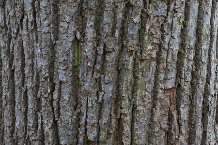 wrinkled rind: The old gray tree bark in the wild forest