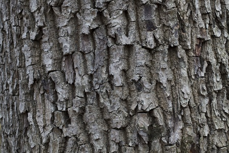 wrinkled rind: The porous dark gray bark of forest trees