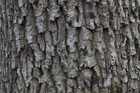 wrinkled rind: The porous dark gray bark of forest trees