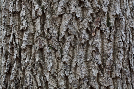 wrinkled rind: Gray striped bark in the wild autumn tree