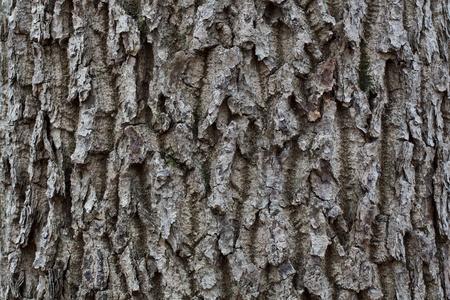 sulcus: Gray striped bark in the wild autumn tree
